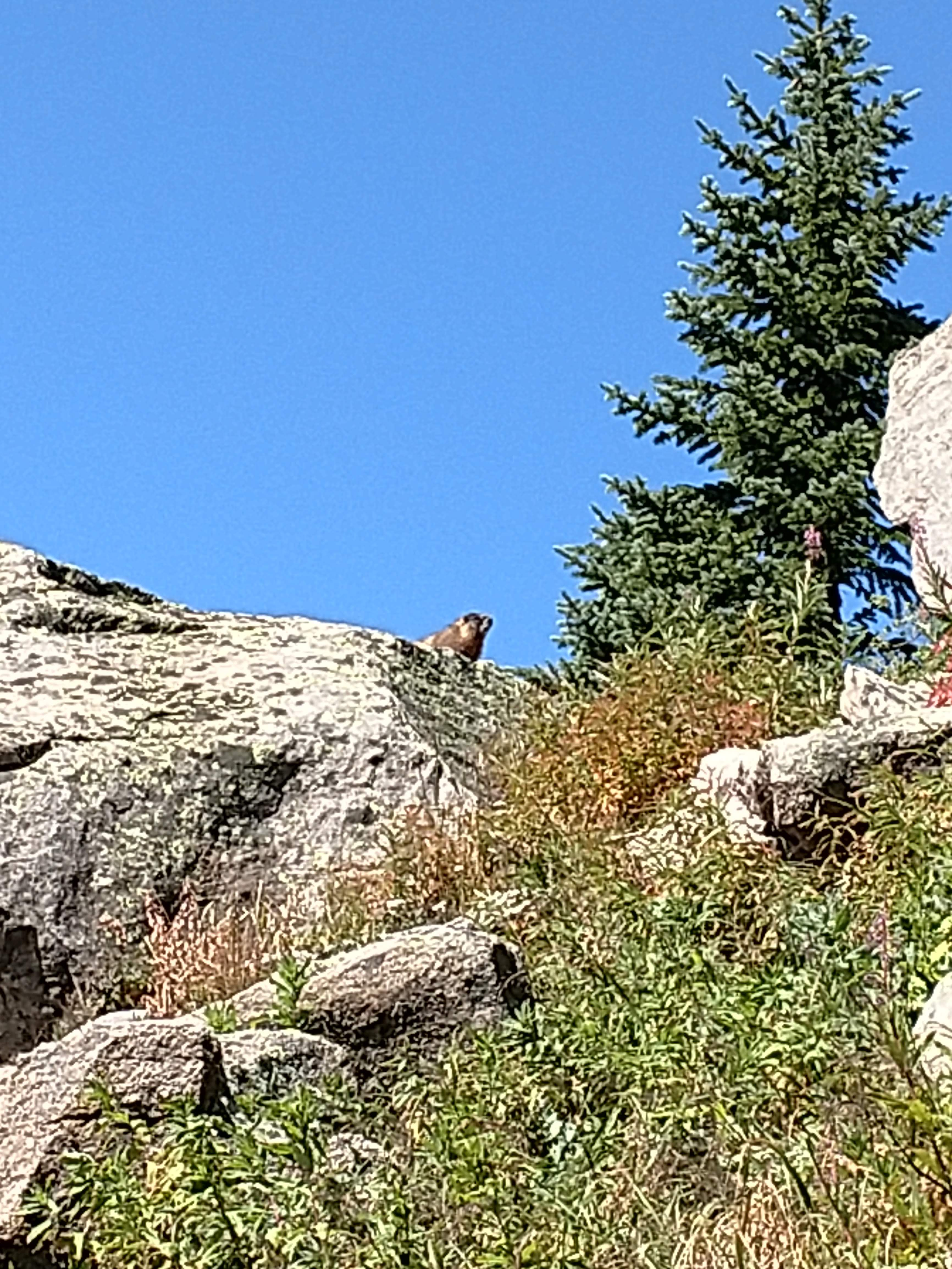 A guardian marmot protects the ripe currants.