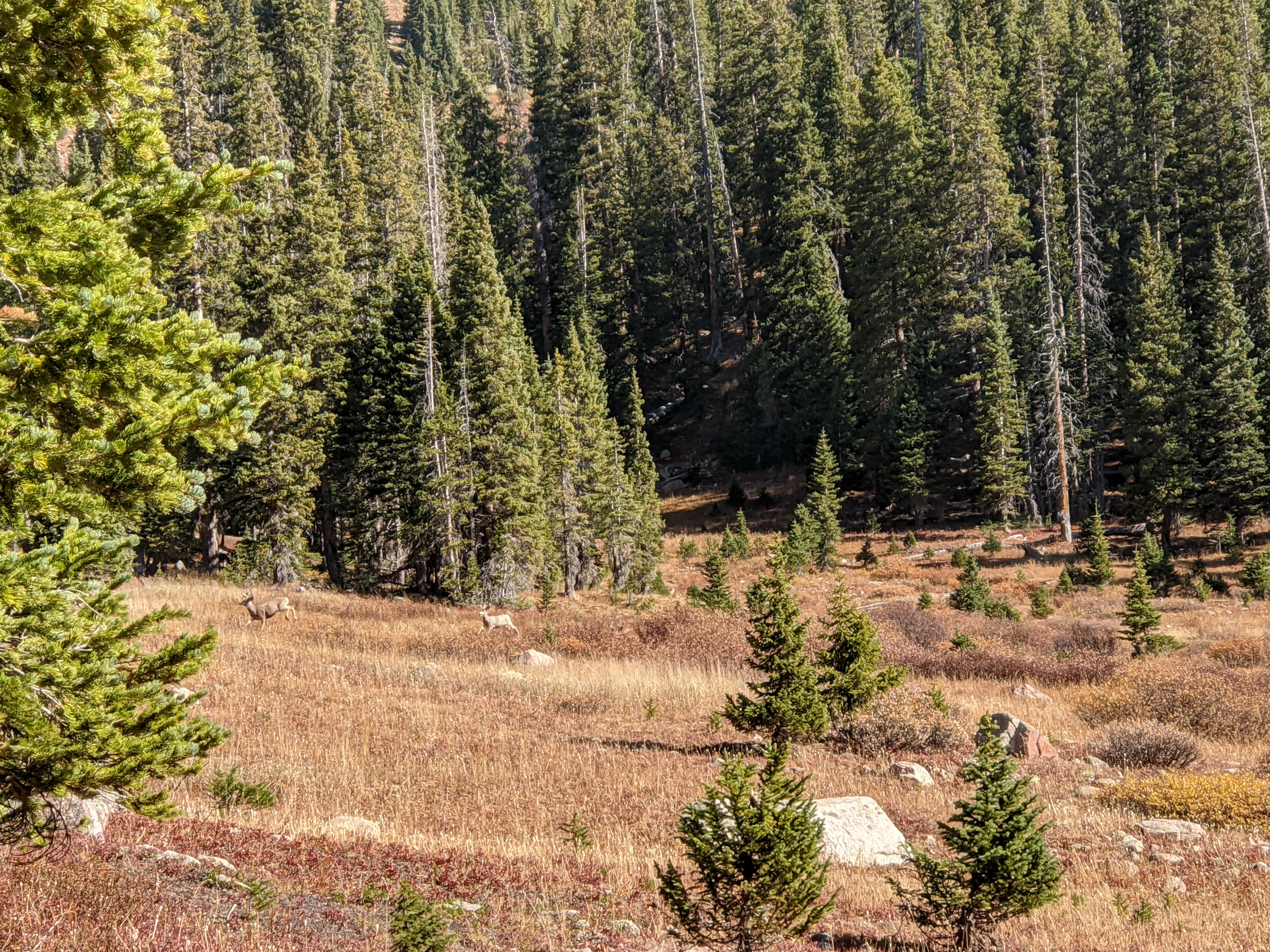 Mule deer careening down the mountain in the Eagles Nest Wilderness.
